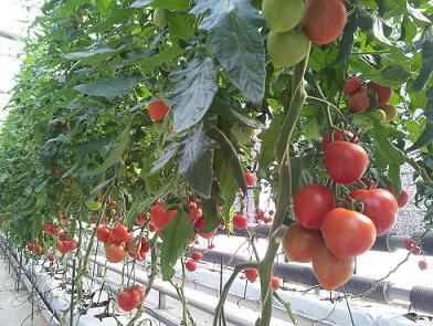 樹になるトマト.JPG